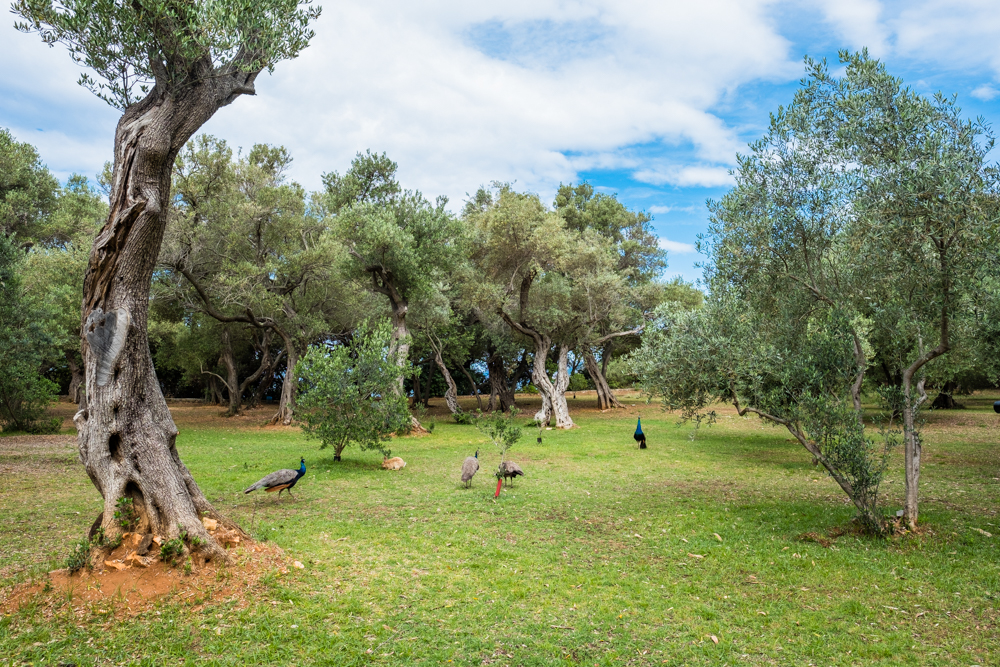 3.) The free-roaming peacocks and rabbits!  Hidden beneath the whimsical trees, this made the island more magical than it already was. Originally brought over from the Canary Islands by Maximilian, they are now the only residing inhabitants of Lokrum Island.