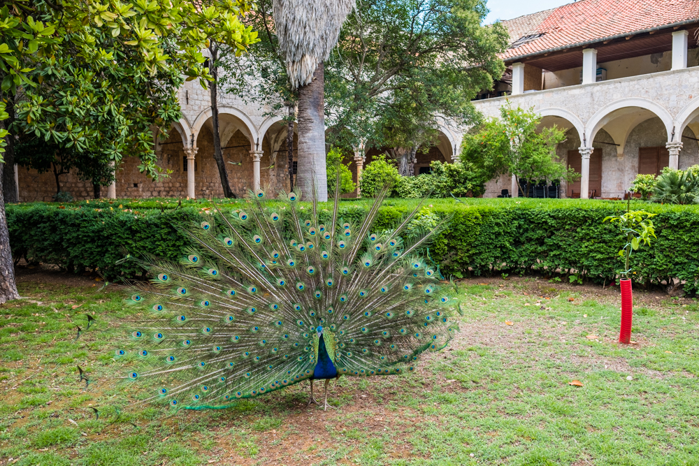 peacock lokrum island dubrovnik croatia