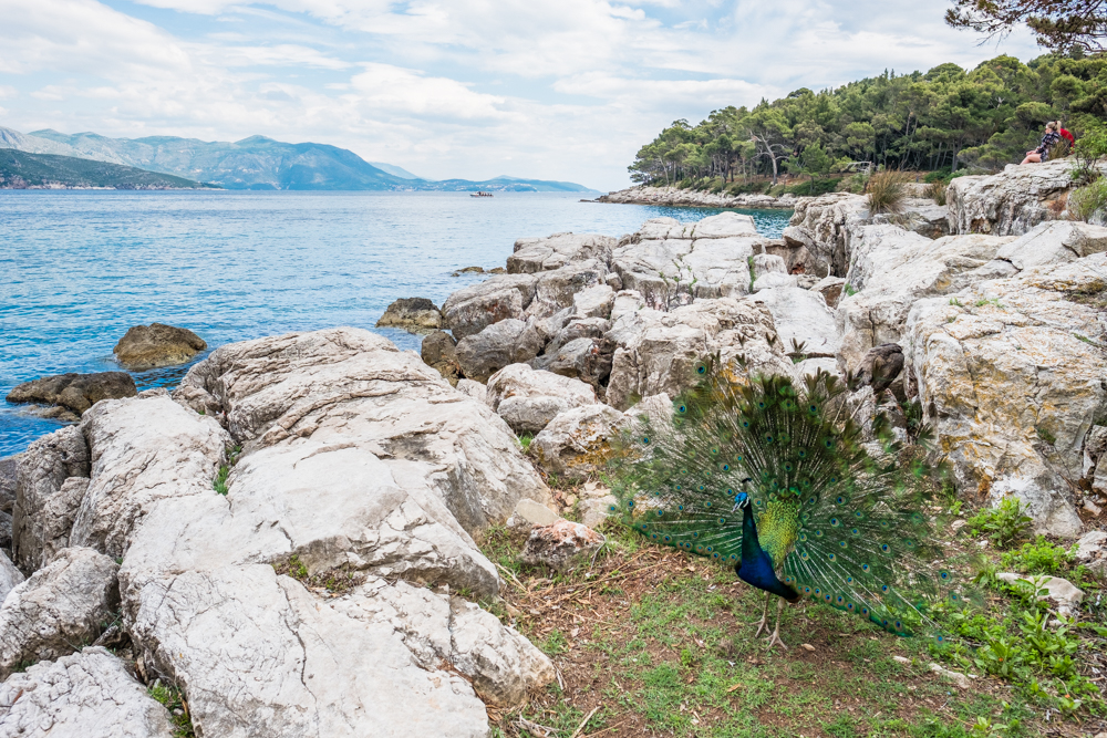 Lokrum has so much to offer and even more, including a nudist beach, water reservoirs, a quarantine hospital, gardens, and groves. You would never guess it, but the island is said to be cursed. So, be sure to catch the last ferry out by dusk. The peacocks may even bid you farewell.