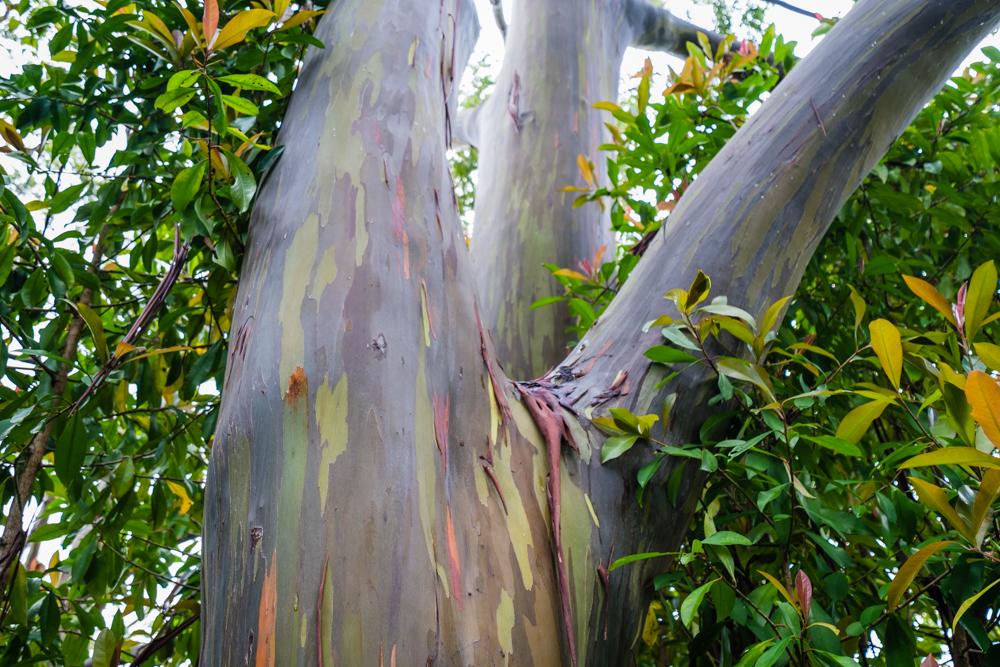 rainbow eucalyptus maui hawaii road to hana