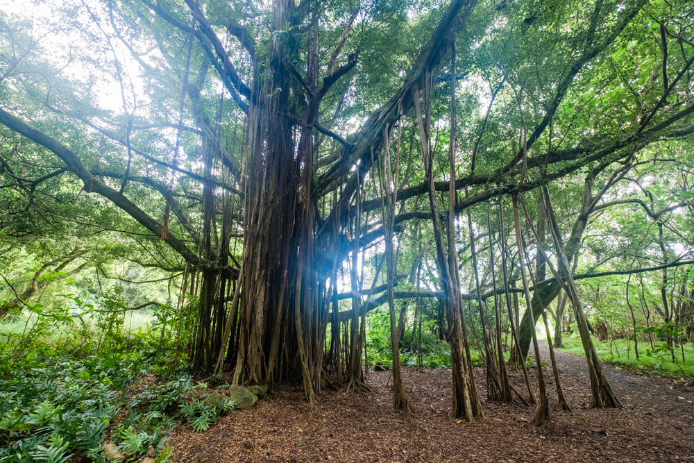 A large Banyan tree on the trail. There are several other self-guided hiking trails that weave through forests of bamboo and lead you to majestic waterfalls.. The Pipiwai Trail is one of those trails, which we did not have time for on this trip.