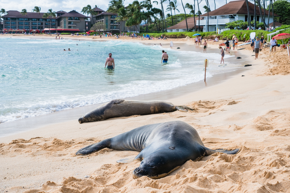 We were lucky enough to see some monk seals sunbathing on Poipu Beach. The monk seals are an endangered species and the only seals native to Hawaii.