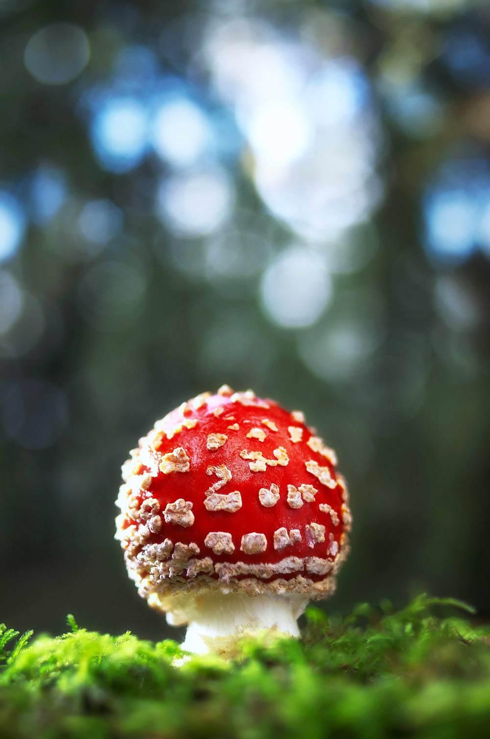 Amanita-muscaria4.jpg
