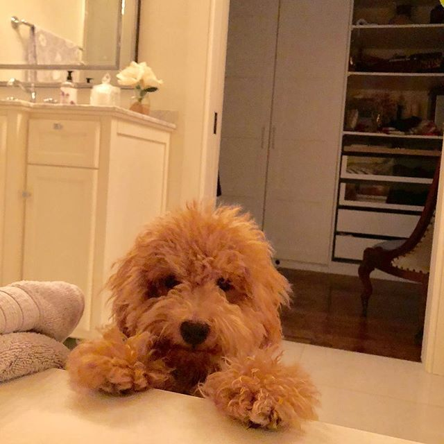 What's up guys? #dogdays #puppylove #bichonpoo #cutedogsofinstagram