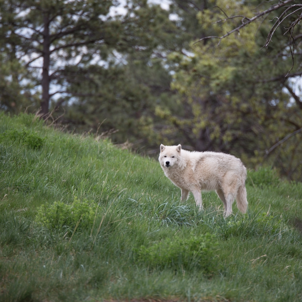 Arctic Wolf at Bear Country USA