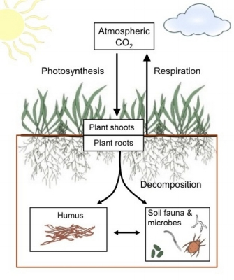 Carbon balance within the soil (brown box) is controlled by carbon inputs from photosynthesis and carbon losses by respiration. Decomposition of roots and root products by soil fauna and microbes produces humus, a long-lived store of SOC. © 2012 Nature Education