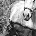 white tsunami foal rss