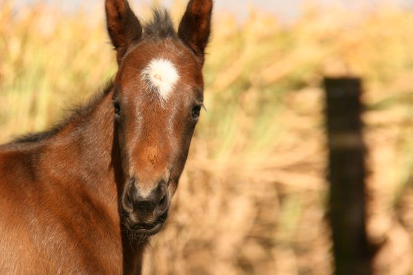 var cupids daughter colt foal