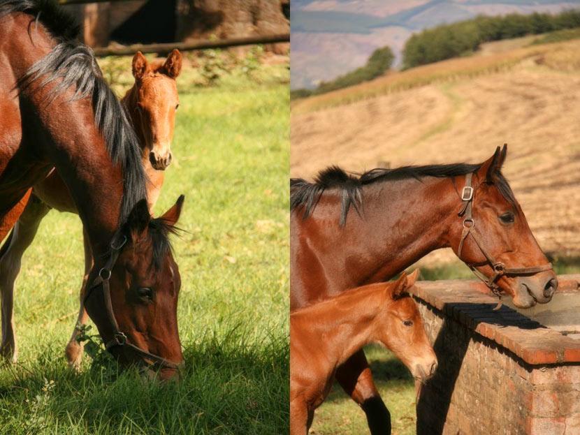 Horse Chestnut Flutter Bye Colt Foal