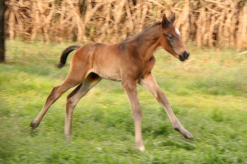 var-cupids-daughter-colt-foal-2.jpg