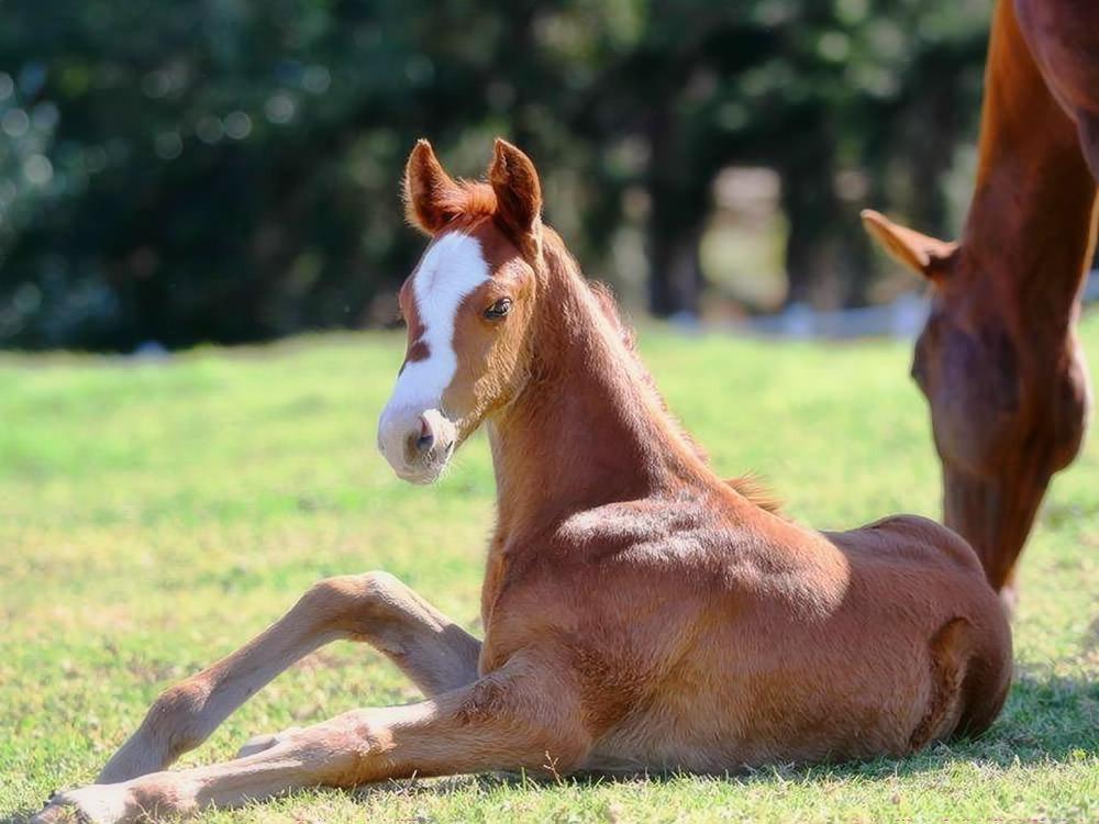 Miss Frankel (Frankel - Val de Ra) Filly Foal