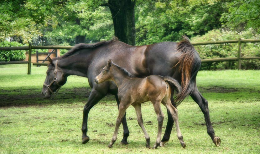 Broodmare Linda Grandeza with filly foal by Miesques Approval