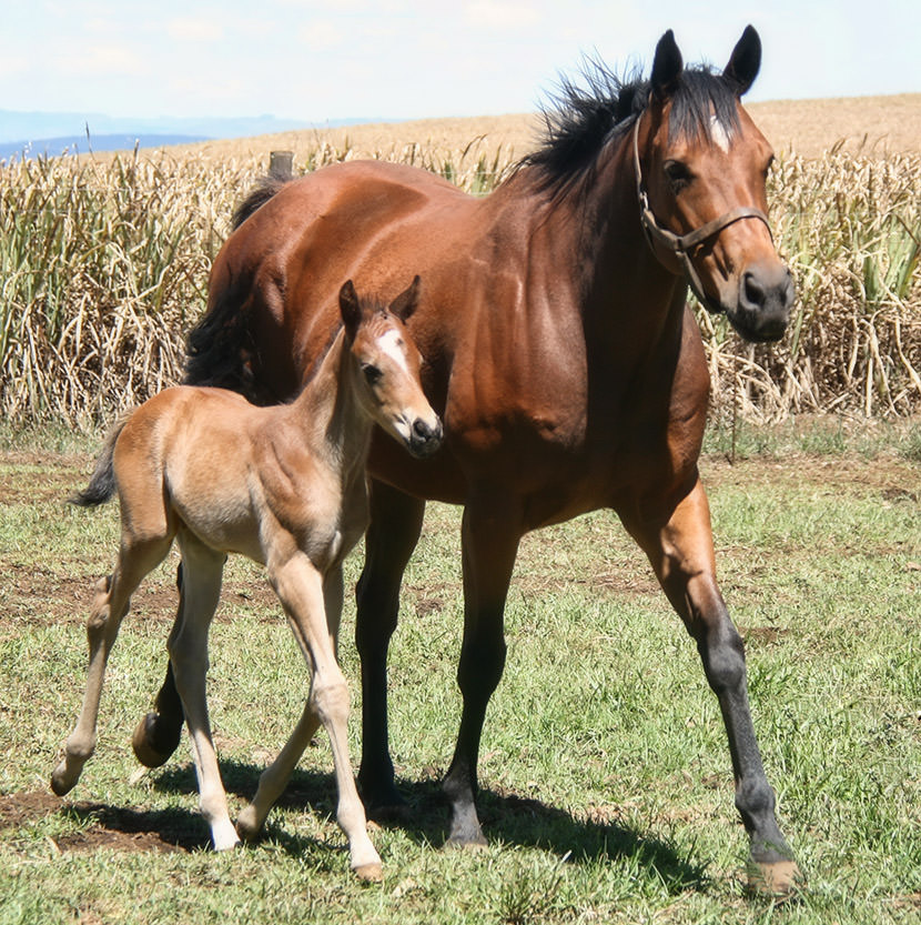 Hargraves Bell with her filly foal by Var