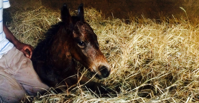 toreador war echo colt foal