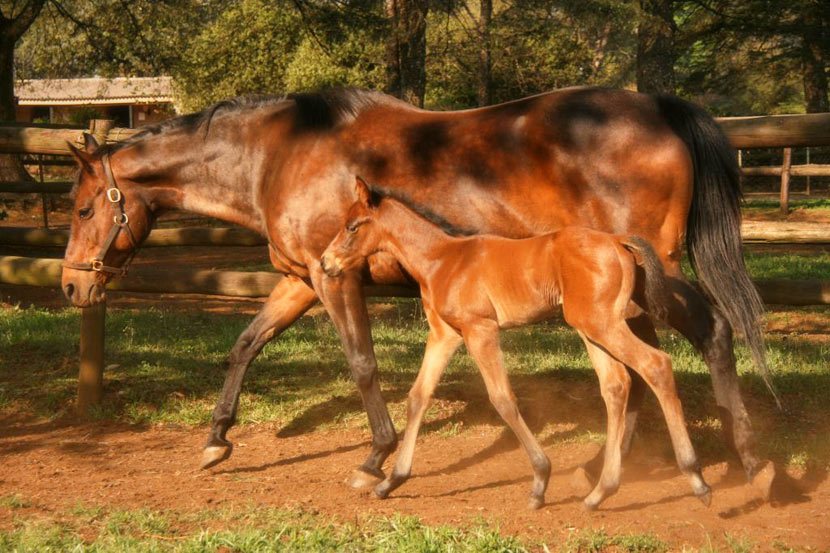 Colt Foal by Kahal out of War Echo