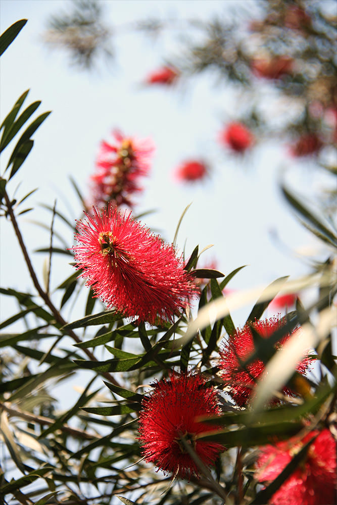Bottlebrush in Spring
