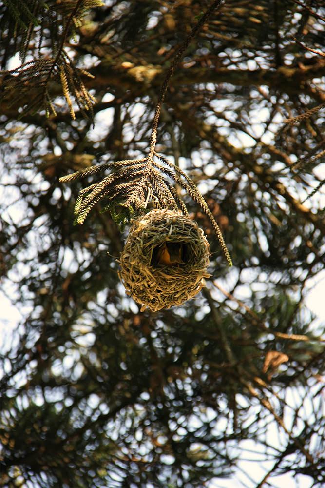 Weaver Nest in Spring