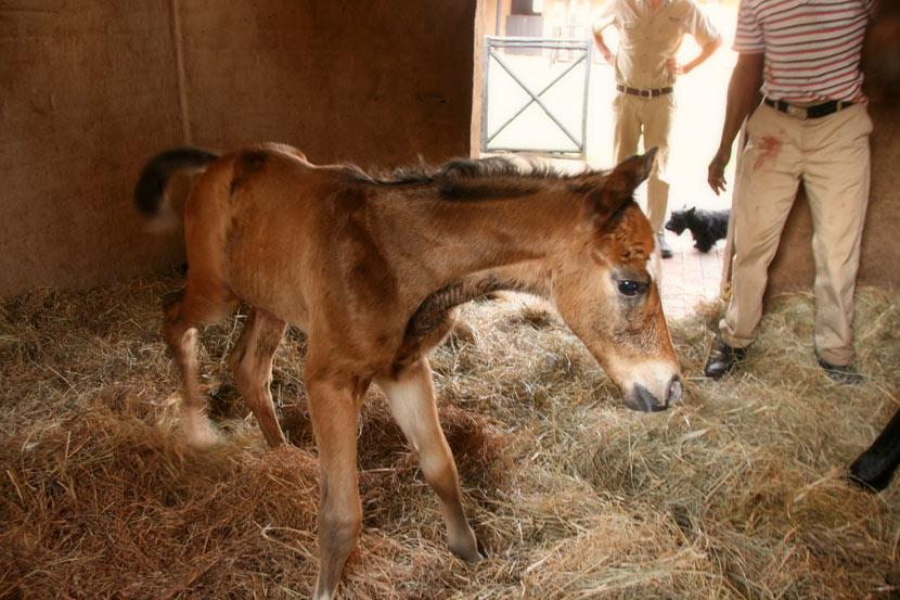 Var Devonella Colt Foal