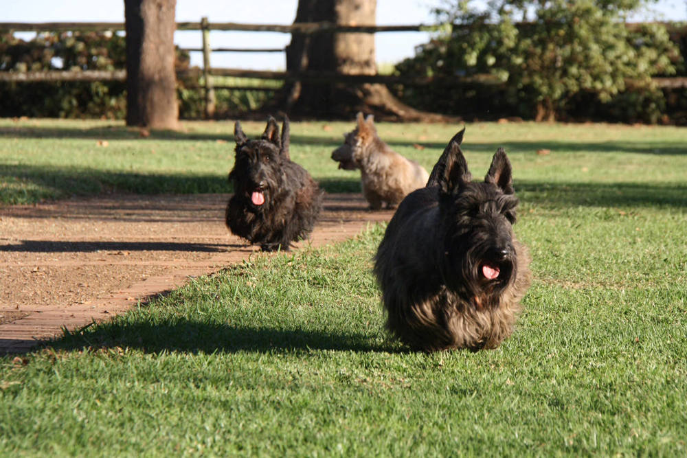scottie-dogs-1.jpg