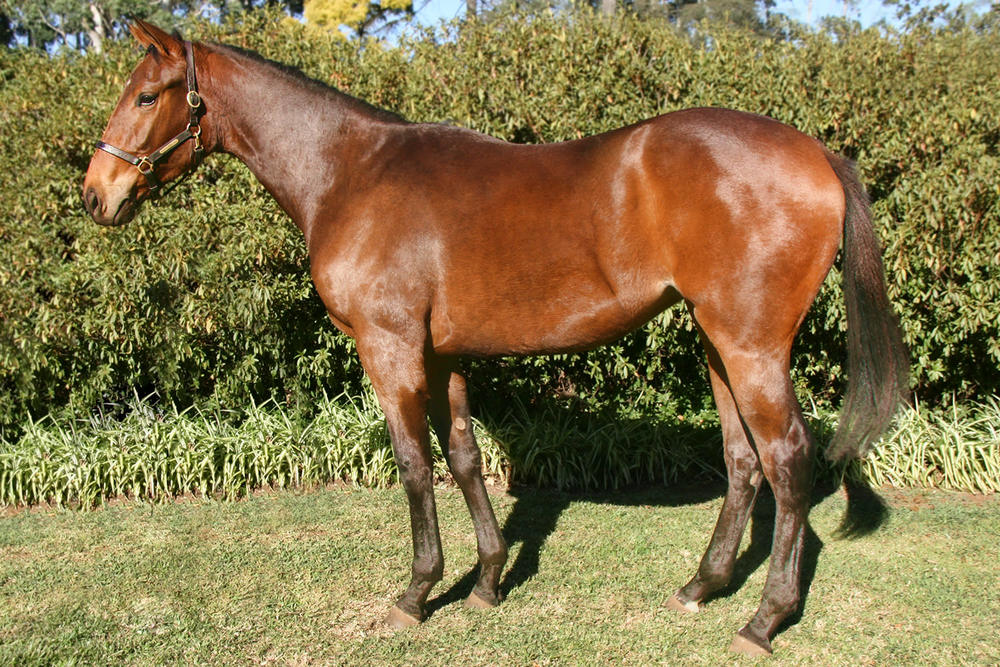 Lot 154 High Altar (King's Chapel - Moving On Up) - 2015 Suncoast KZN Yearling Sale