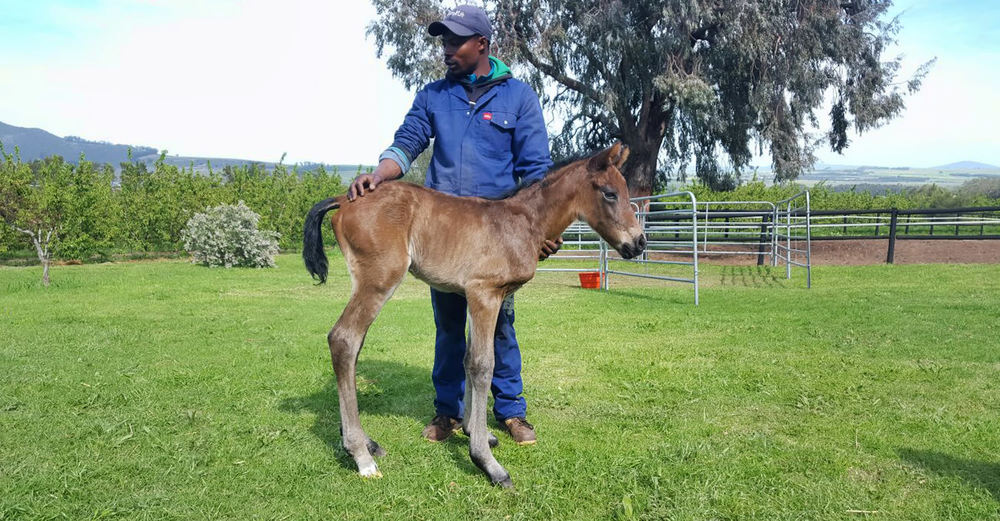 Noble Tune - Touch Of Nobility Colt Foal