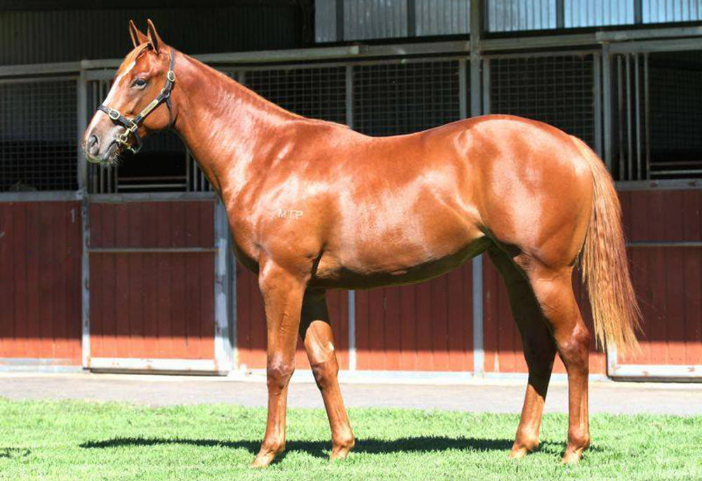 Lot 237 Frankel – Chocolicous by Kahal, sold for $610,000 / Inglis (p)