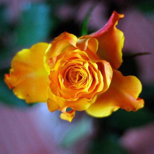 ullas-rose.jpg