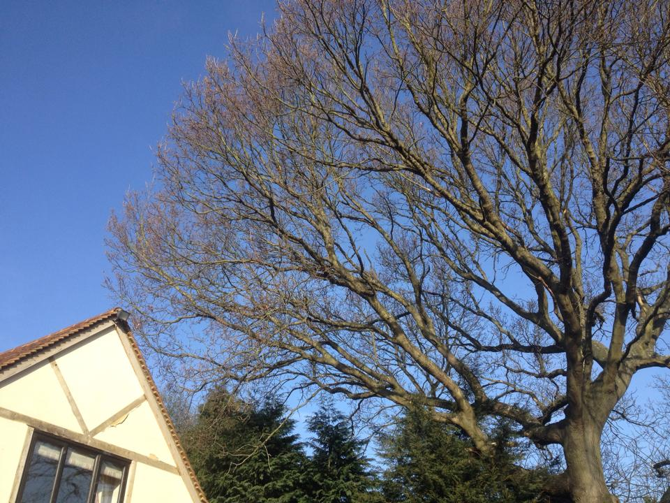 Large oak tree in Surrey requiring reduction