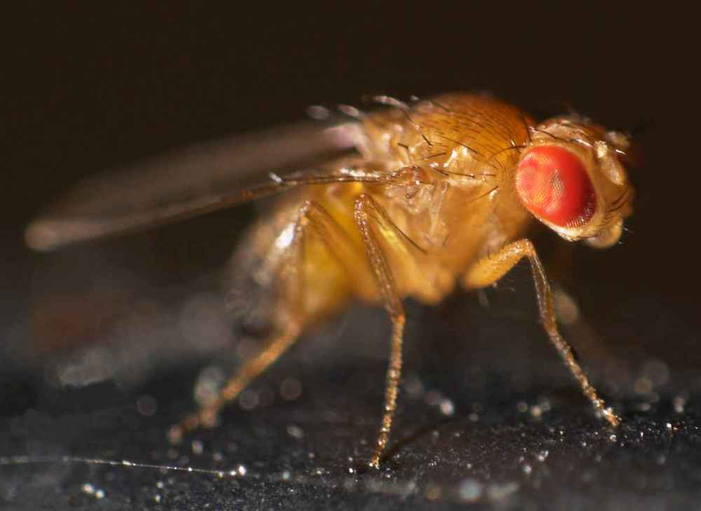 Drosophila_melanogaster.jpg