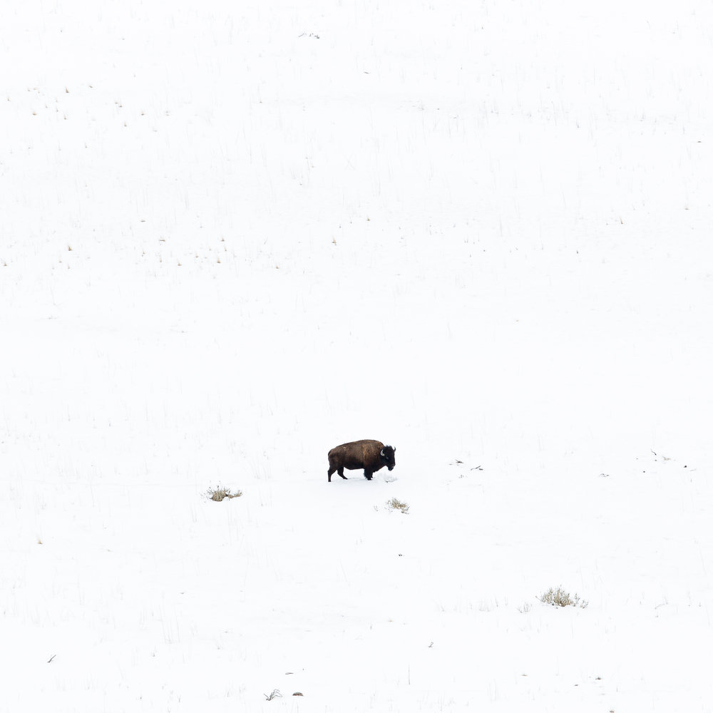 Lone Buffalo  © Andrew Lockwood 2017