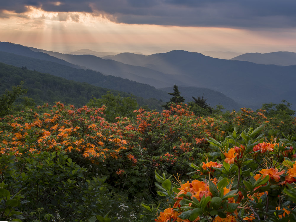 Azalea's on Roan, North Carolina