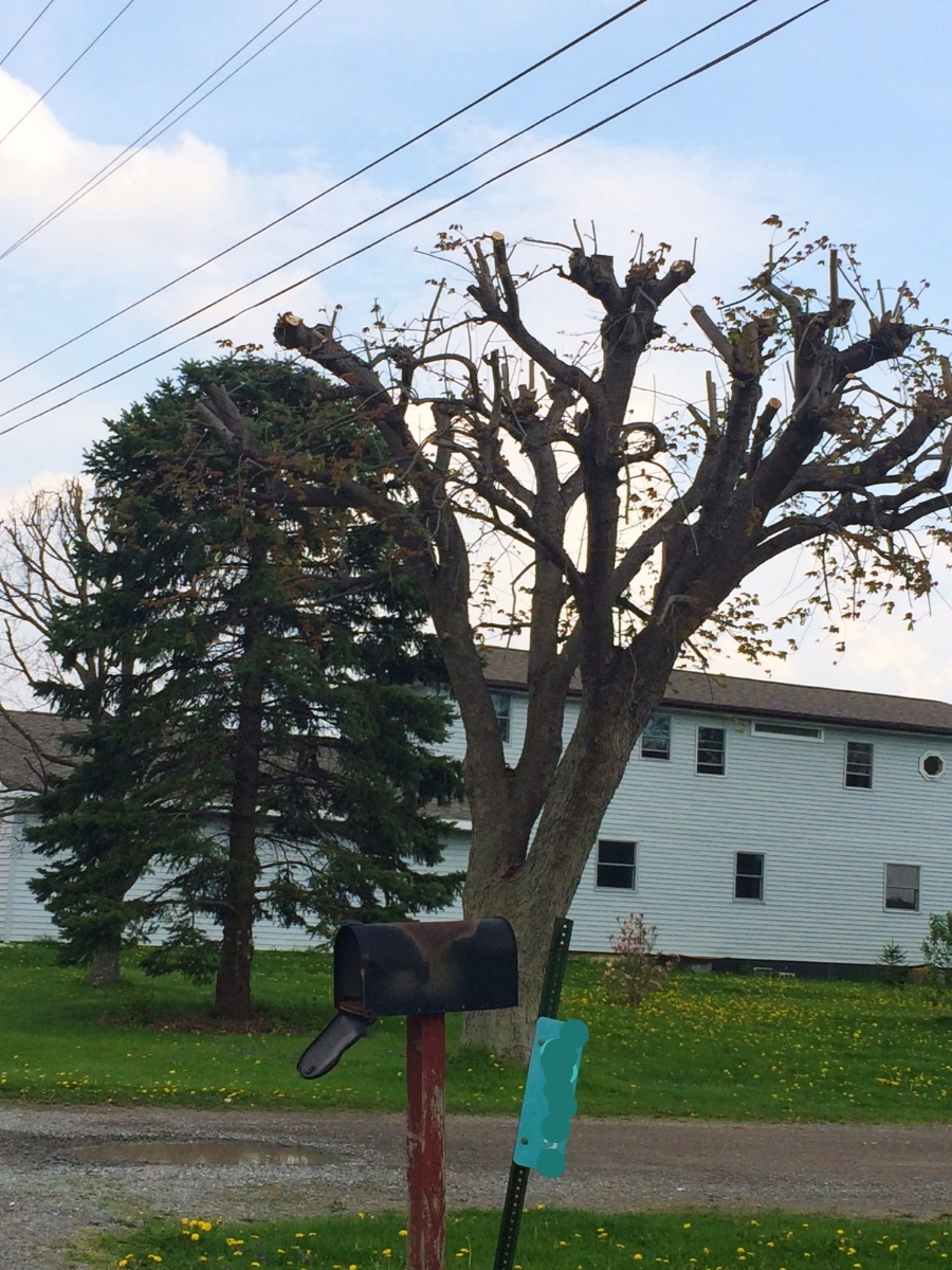 """A topped tree along a county road north of Ada. Topping stresses a tree and causes it to put out shoots, to make up for the loss of leaves. """"People love it because the tree looks nice and full,"""" said Brad the Arborist. But the tree's been set on a path of disease and decline."""
