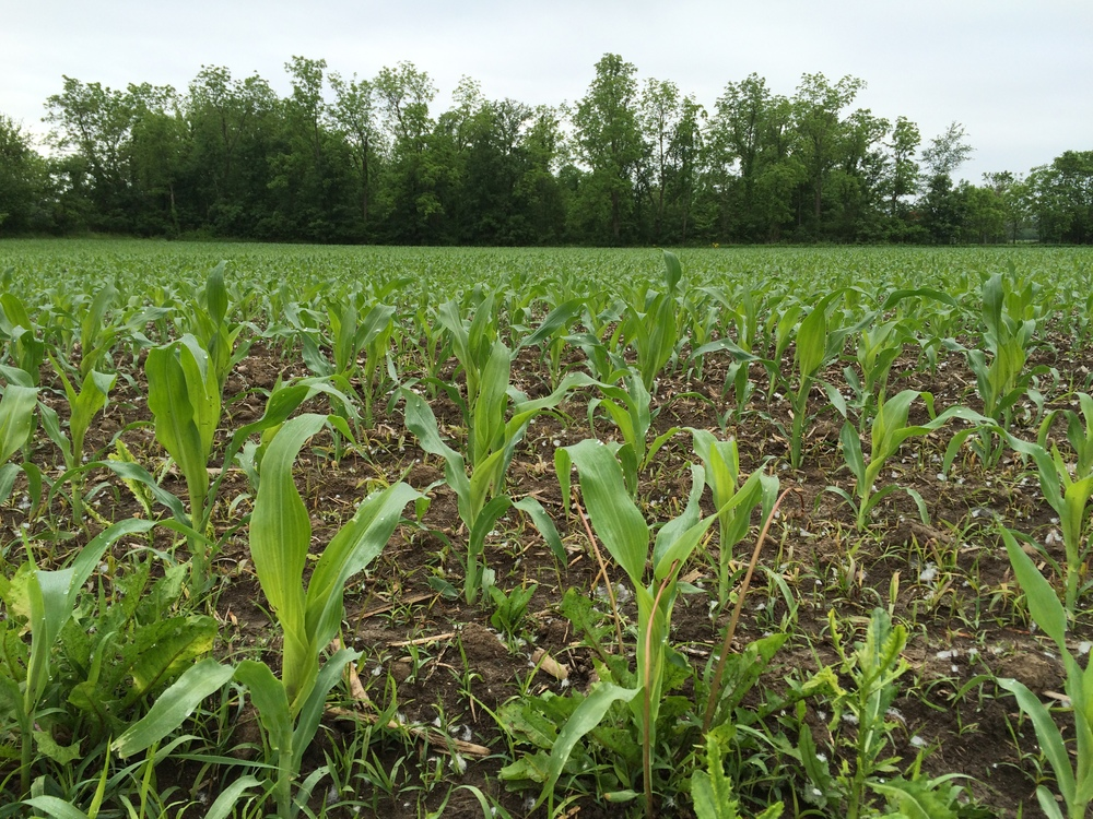 Not yet elephant-eye high. Maybe elephant-knuckle. A corn field along Route 103, between Ada and Arlington.
