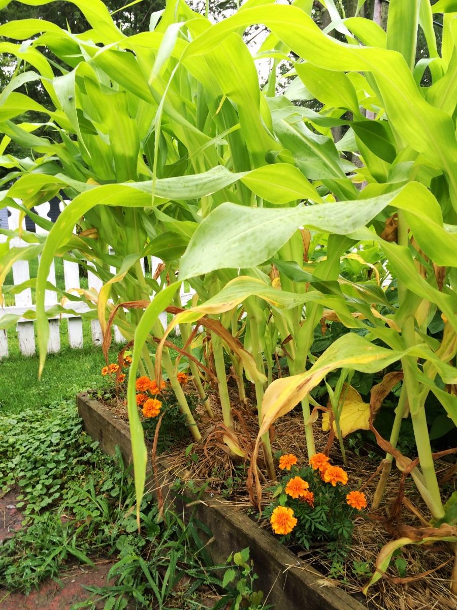My nitrogen-needy sweet corn.