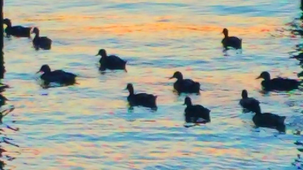 eleven-ducks-3.jpg