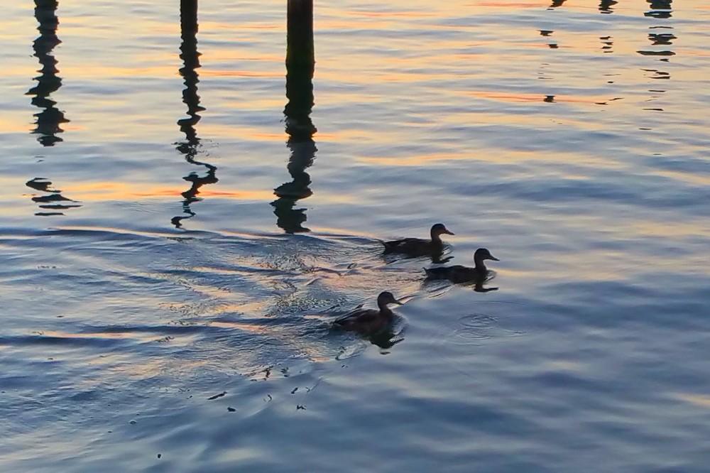 three-ducks.jpg