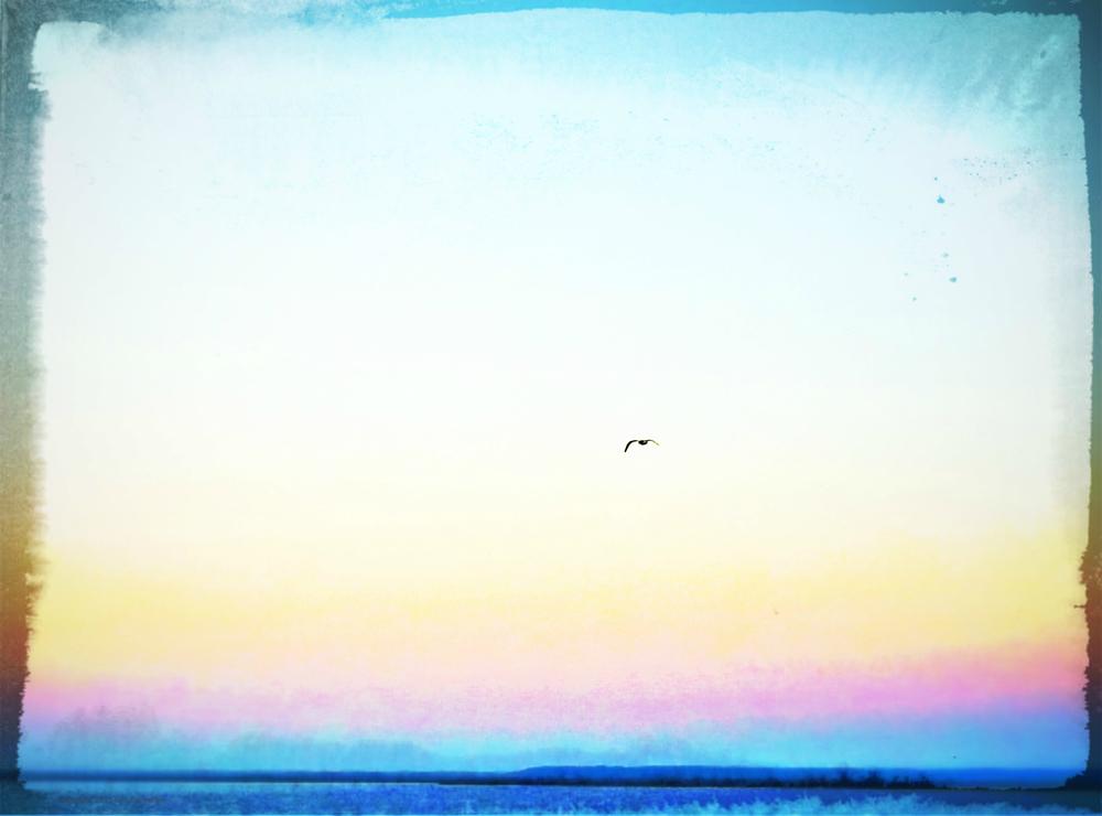 Rainbow Gull