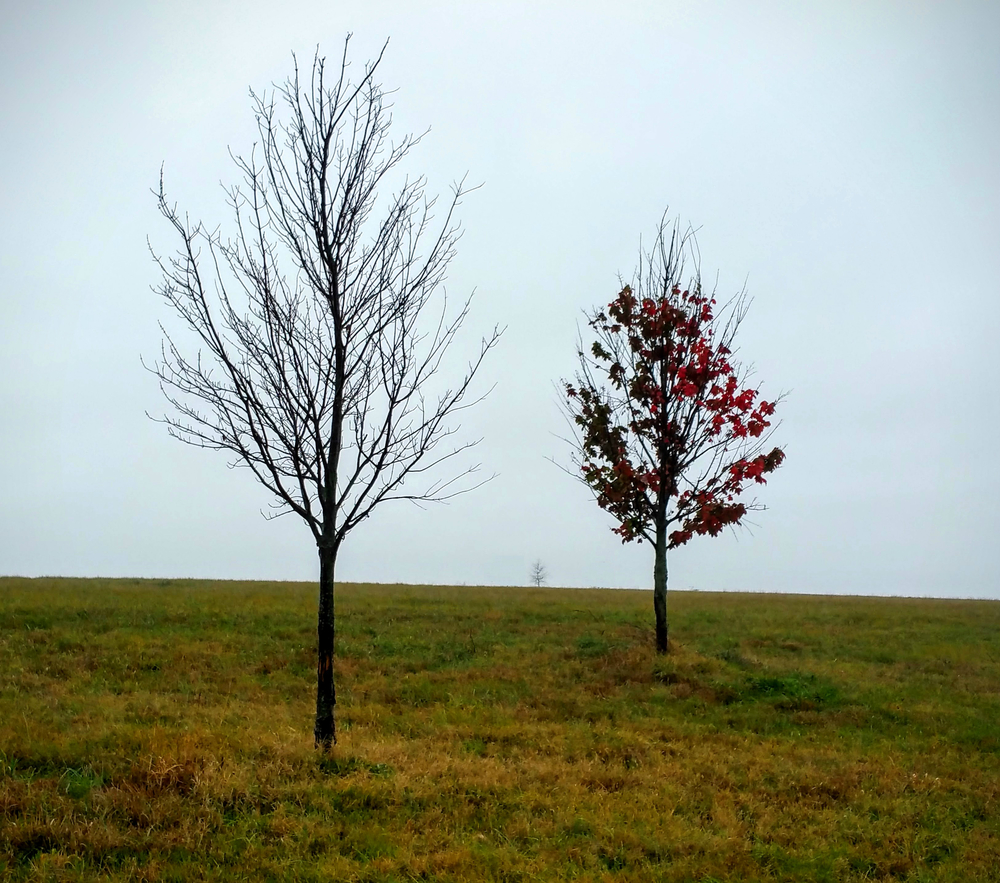 Two Trees on a Misty Day