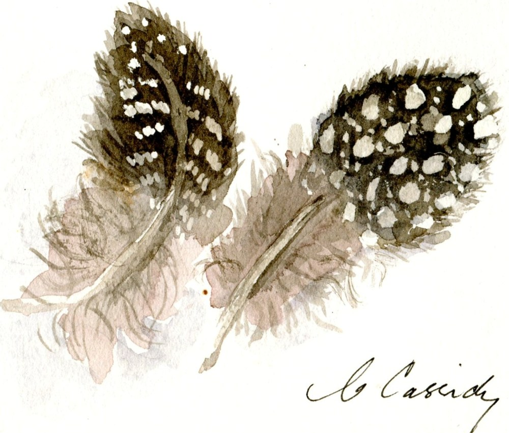 Cassidy, Carol 83b   Two Guinea Fowl Feathers, Water-colour.