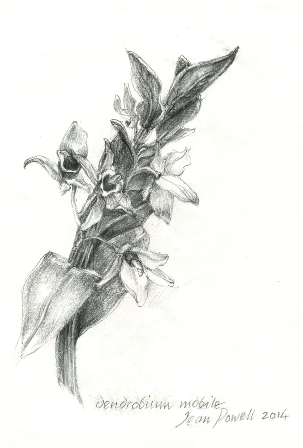 Powell, Jean        47 Dendrobium Mobile, Pencil on paper.