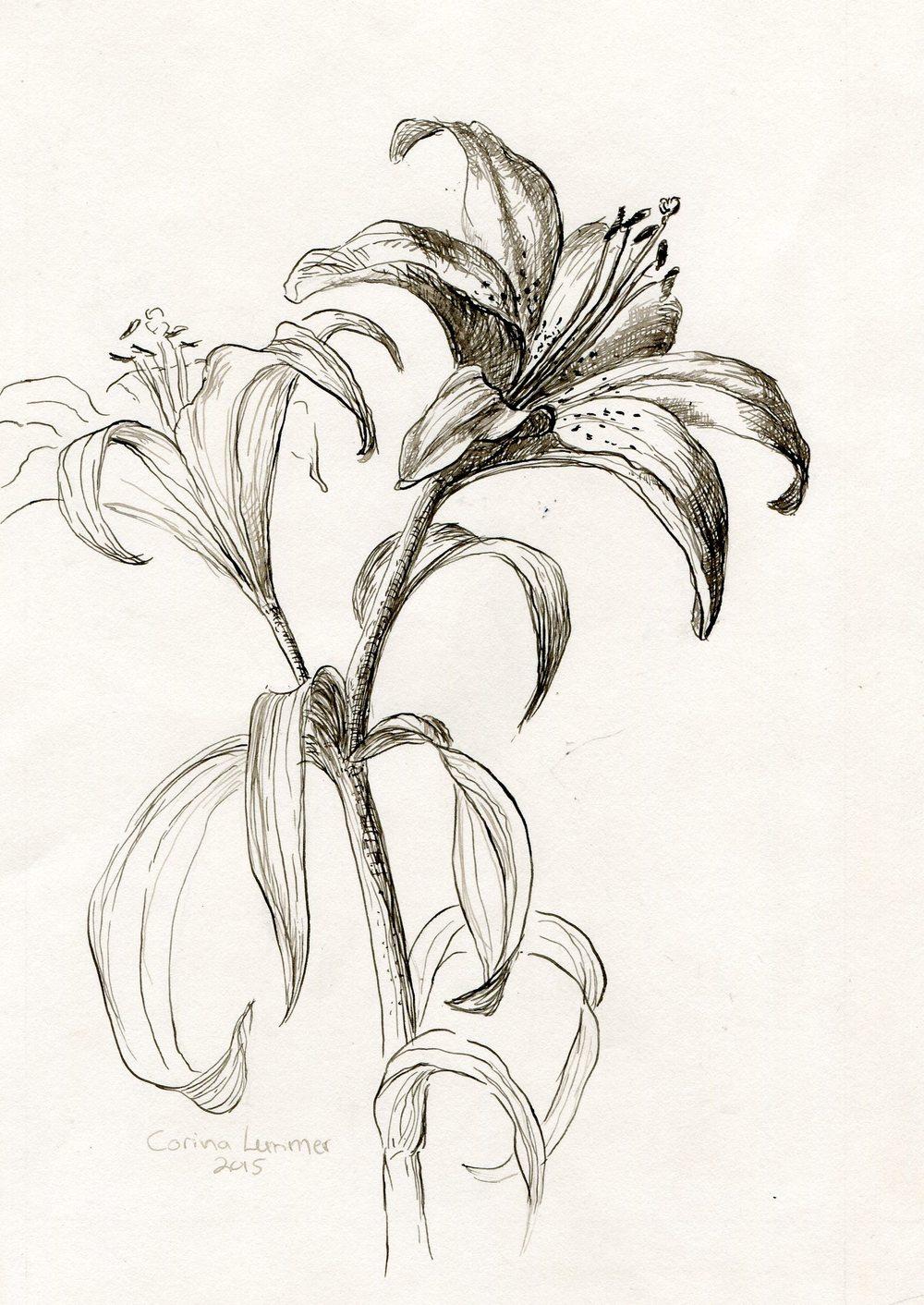 38 Lemmer, Corina-Lilies,pen and ink..jpg