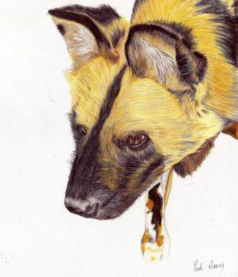 69c Morray, Paul - Wild Dog, polychrome pencil print.jpg