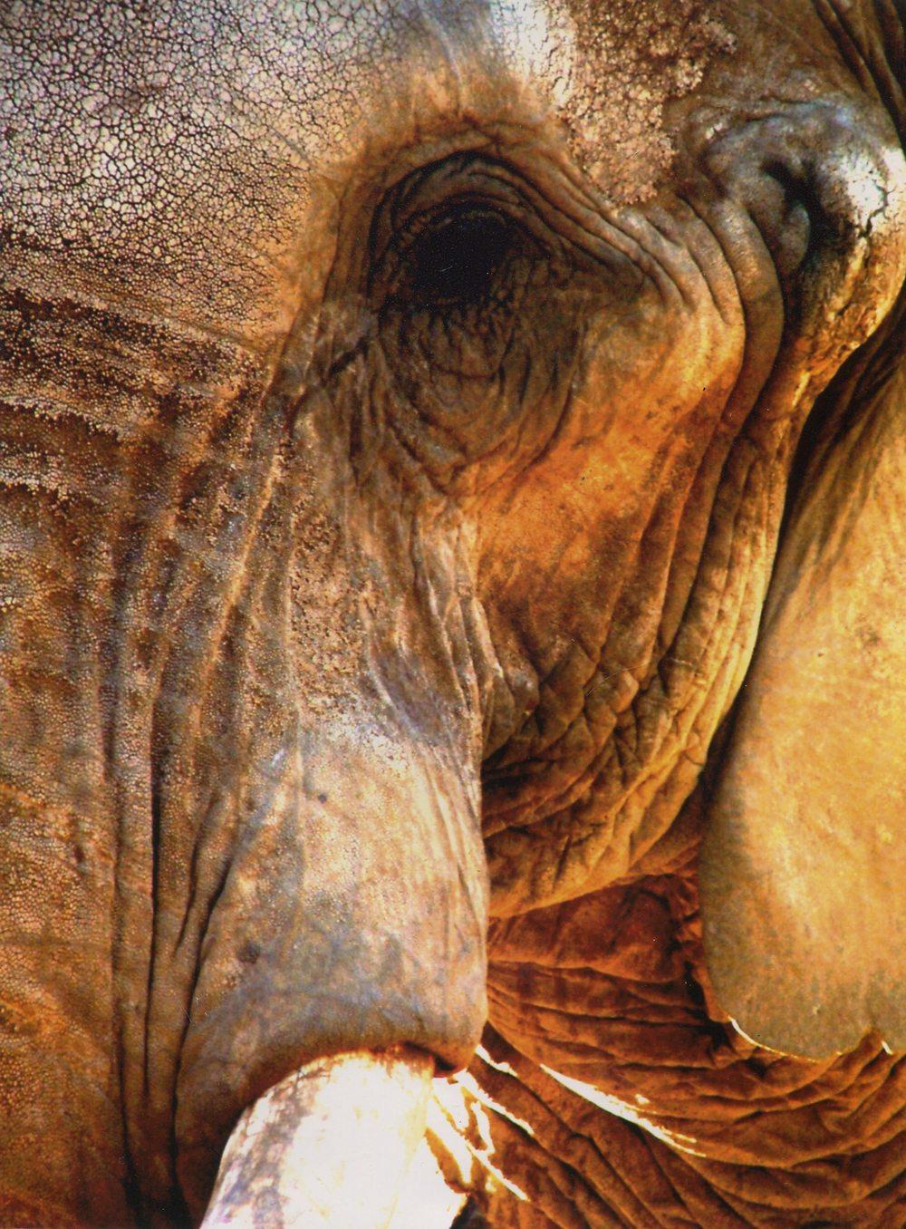 70a The Bandit , Golden Elephant - Photograph Print..jpg