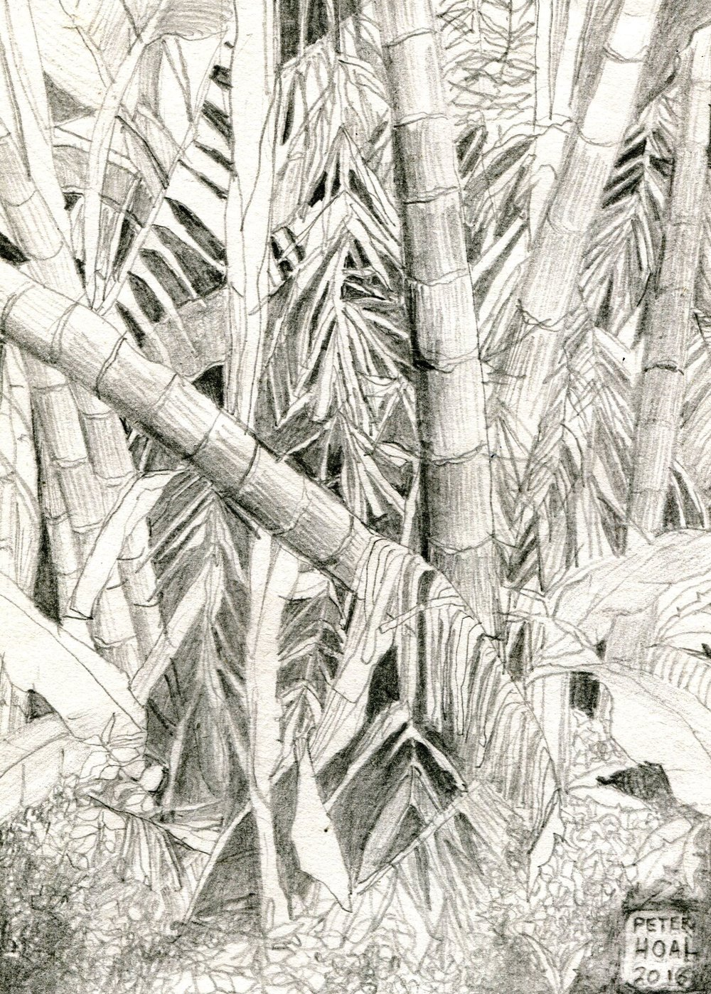 42a Peter Hoal, Bamboo Thicket, Pencil drawing on paper