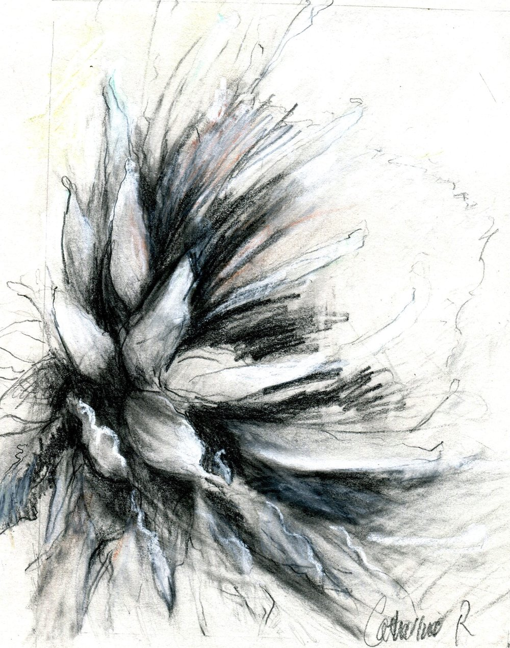 46a Catherine Raphael , King Protea, Pencil & pastel on paper