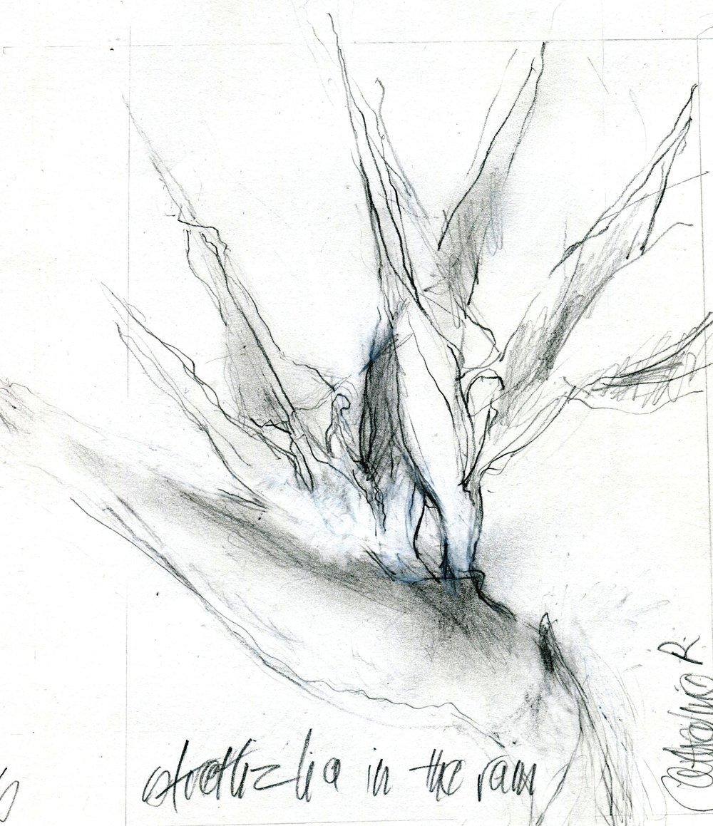46b Catherine Raphael,  Strelitzia, Pencil & pastel on paper