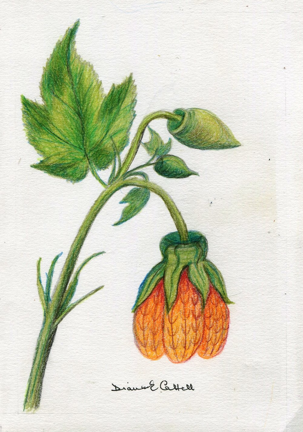 19a Diana Cattell,  Chinese Lantern Flower 1,  Polychrome pencil on paper