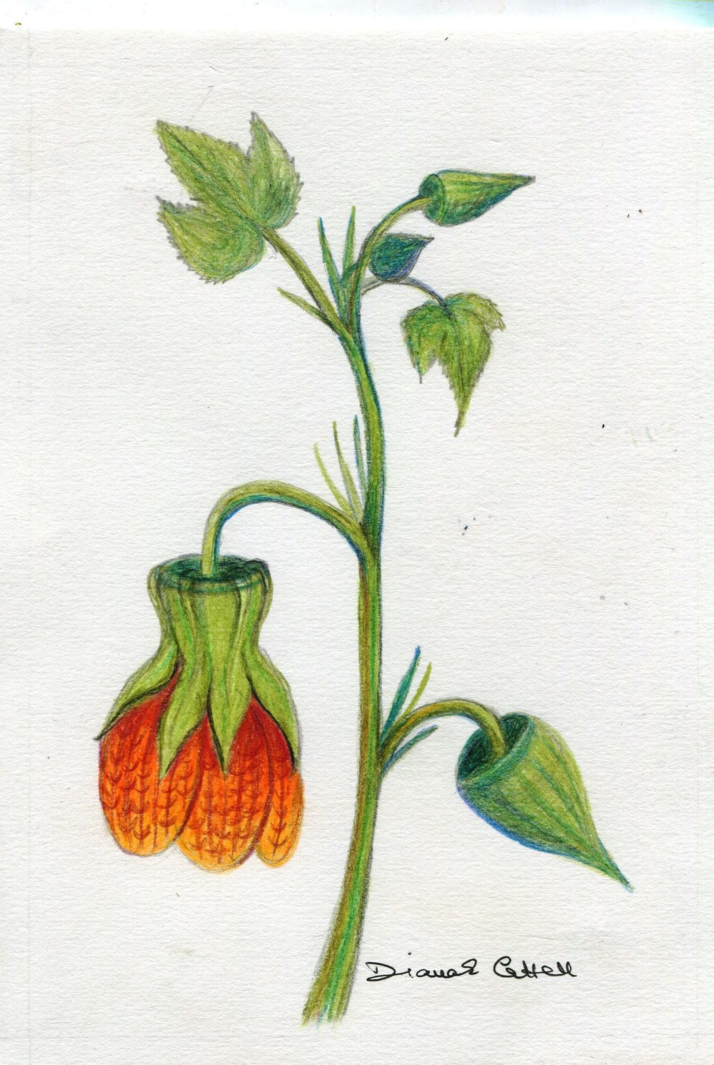 19b Diana Cattell, Chinese Lantern Flower 2,  Polychrome pencil on paper