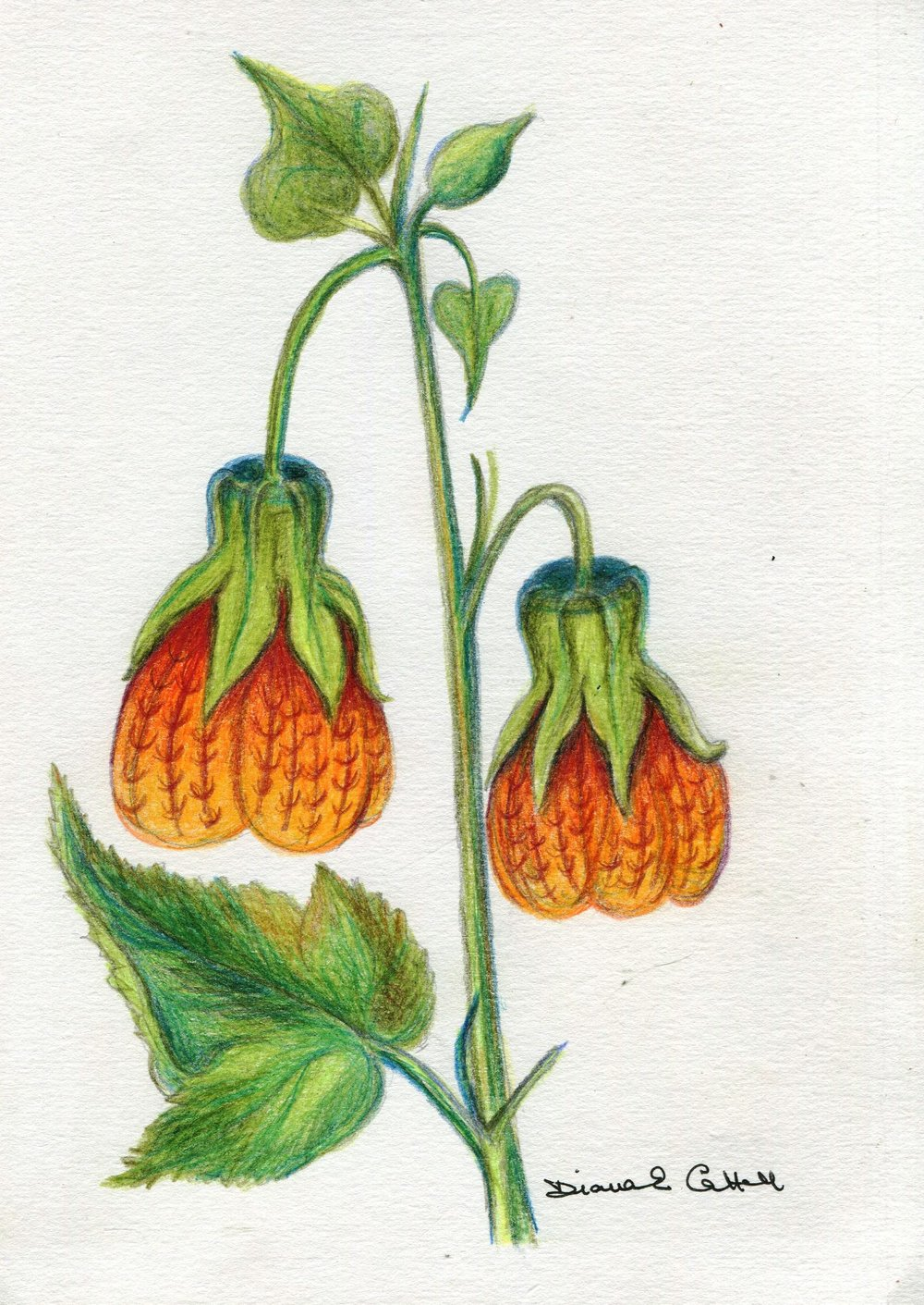 19c Diana Cattell, Chinese Lantern Flower 3,  Polychorome pencil on paper
