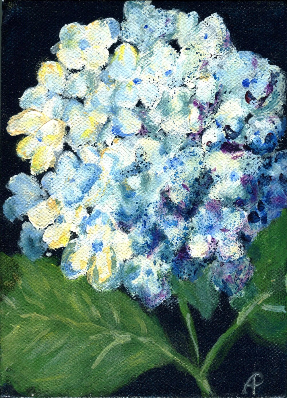 23B ANNA PETTIFER, HYDRANGEA, ACRYLIC ON CANVAS